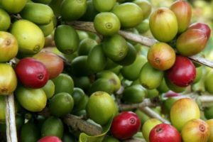 Callyssee Cosmetics -_Why_Green_Coffee_Extract_is_the_Next_Skincare_Star
